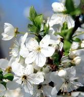 «Біле море квітів було» (+фото)